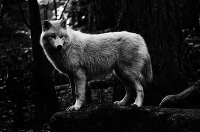 White Wolf Under Canopy