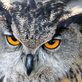 The owl who shot out  of the wild to shock.