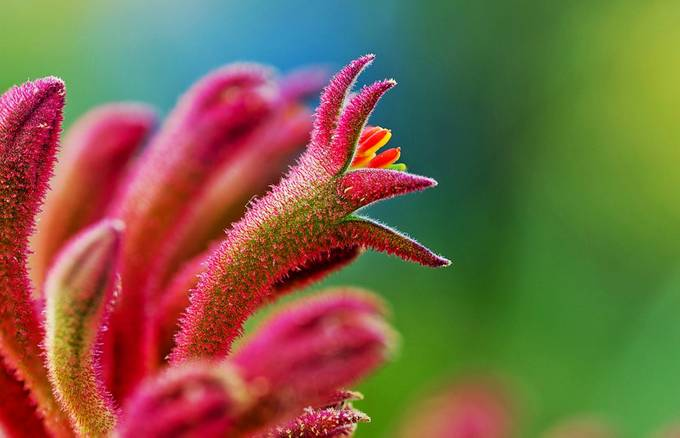 Kangaroo Paw flower red 2 by briandelaney - Beautiful Flowers Photo Contest