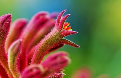 Kangaroo Paw flower red 2