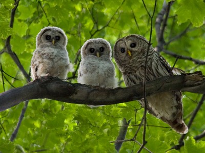 Barred Owl with owlets