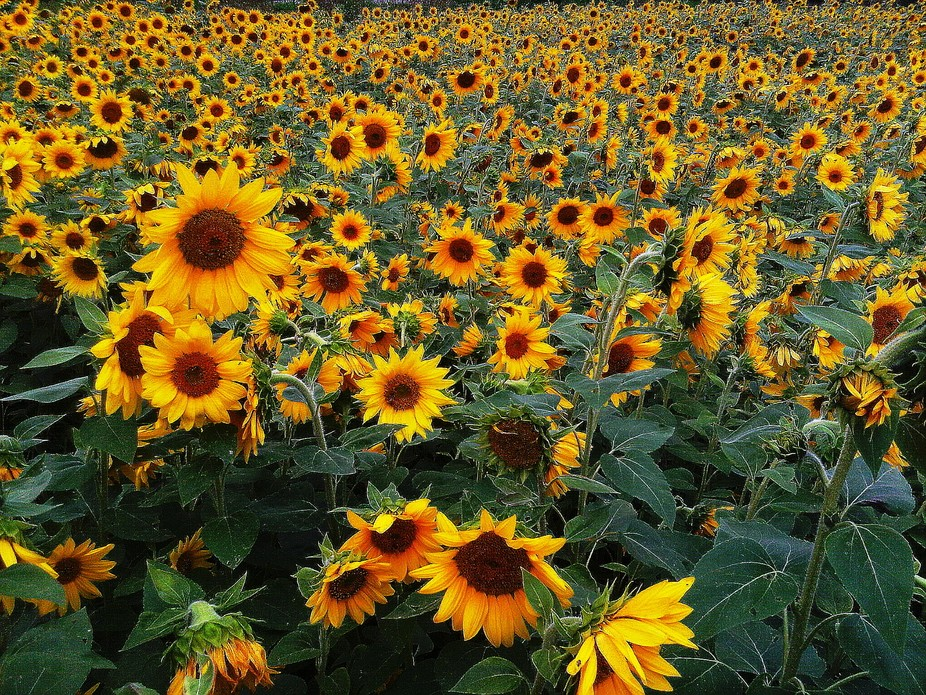 found this field of sunflowers on a trip to Gatineau.  There was a sign saying that we can pick t...