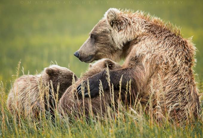 Mothers Milk by mattdaugherty - Alaska The Wild Photo Contest