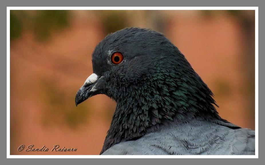 Peace lover pigeon giving me portrait shot