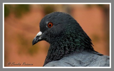 Portrait of Rock Pigeon