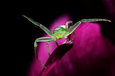 Green Spider Delight