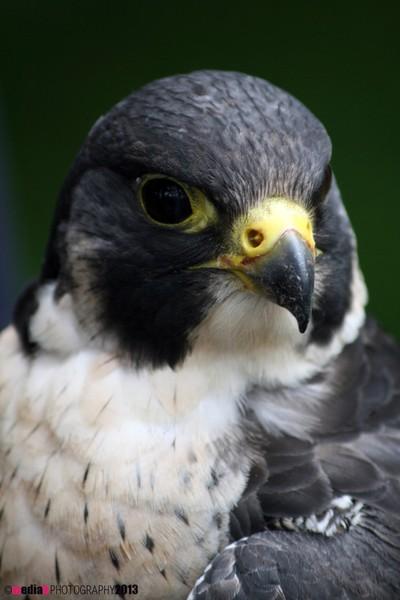 Peregrine-Falcon-#1