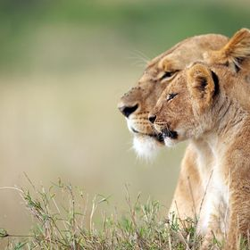 A wild lioness with her cub in the Masai Mara