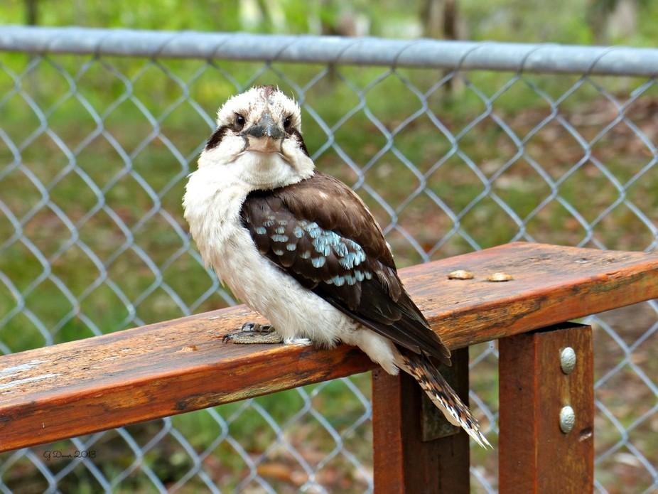 gorgeous little Kookaburra who was sitting next to me outside the beach hut.