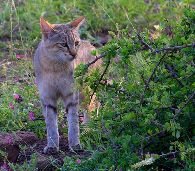 African Wildcat - Felis Silvestris Cafra  © Brian Basson Photography 2014