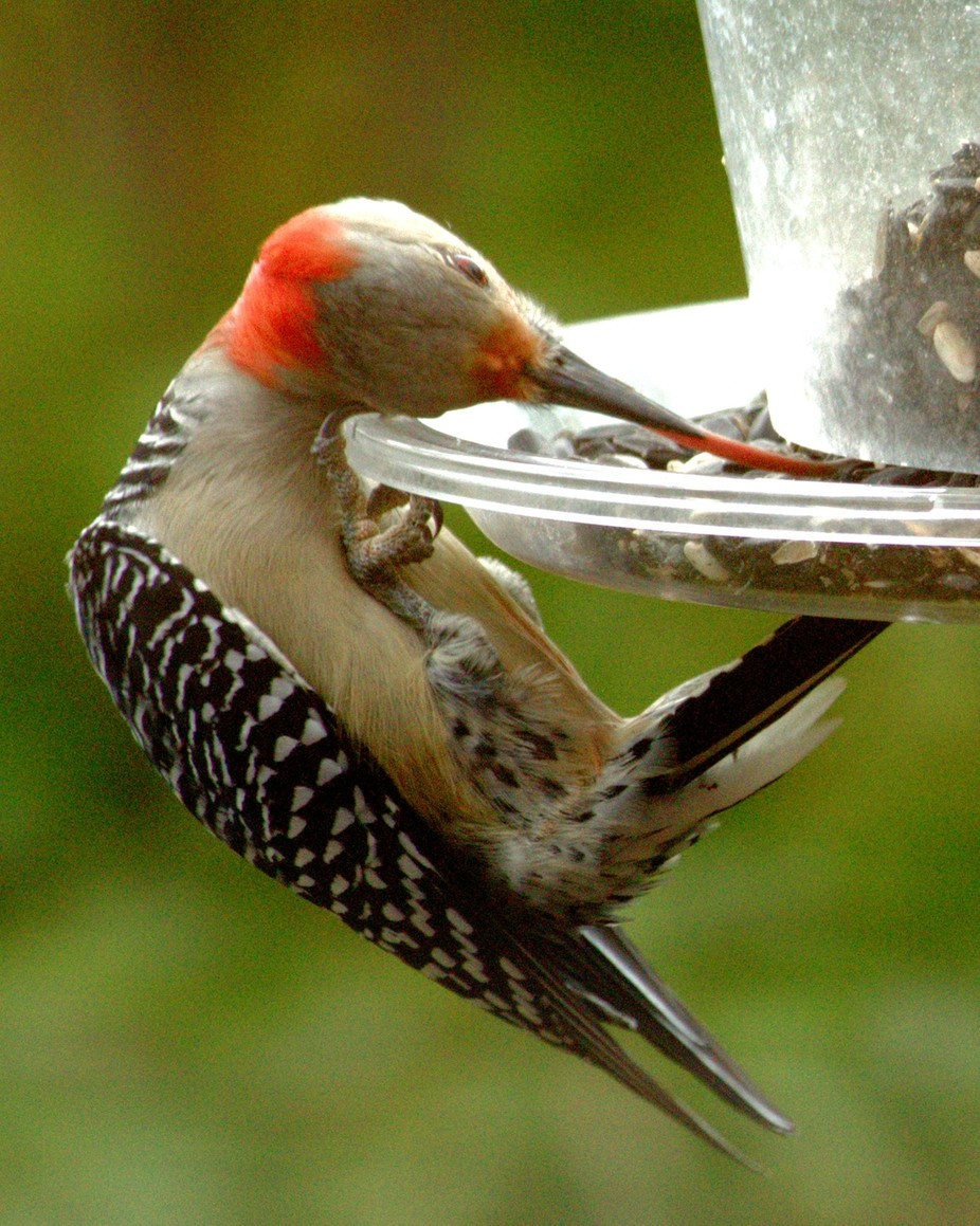 How long is your tongue?  This red-bellied woodpecker can roll hers round and round up into her s...