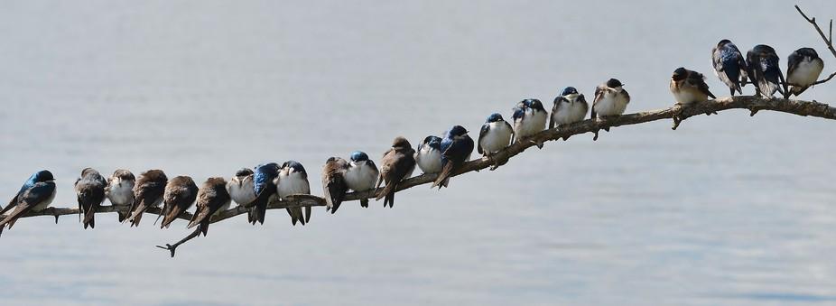 Swallows on a Limb