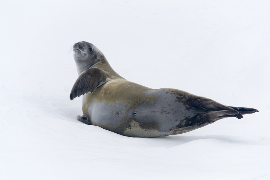 This docile seal was dreaming of krill until our ship hit the ice berg on which she was laying. I...