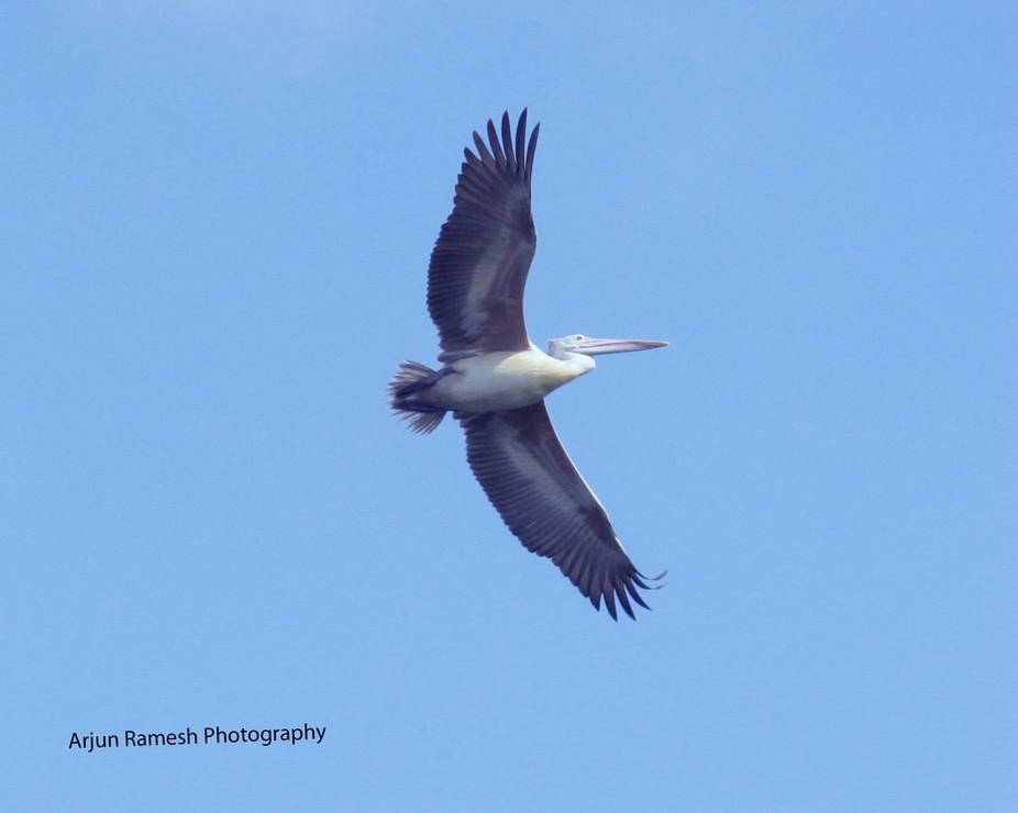 Flight of the Grey Pelican