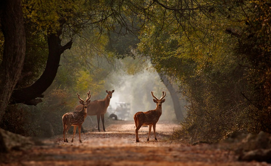 Spotted Deer and a Blue Bull giving a curious look .  Taken at Bharatpur , India .