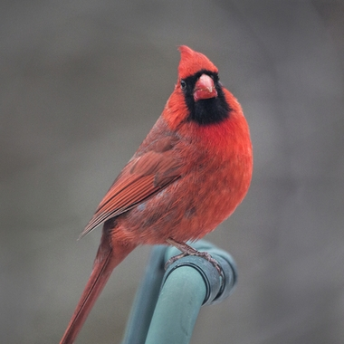 Cardinal looking in the window.