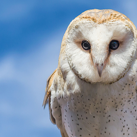 She is a barn owl that flies for Sky Kings Falconry / Wildlife Revealed here in central Texas.
