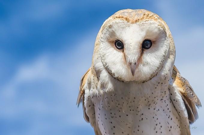 Widget by garyrhook - Beautiful Owls Photo Contest