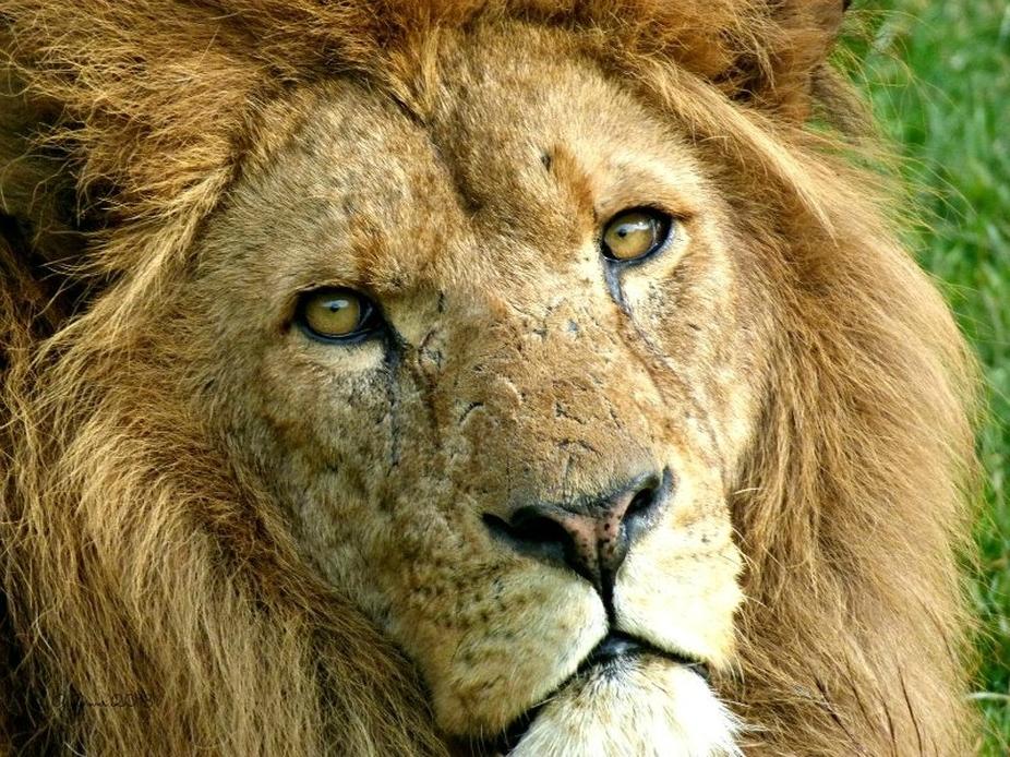 lion #
