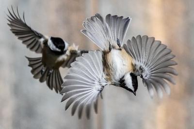 Black-capped Chickadees