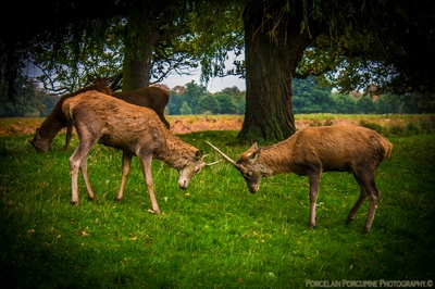 Young Stags