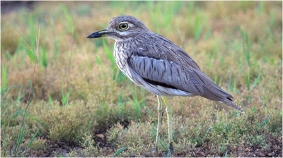 Water Thick-Knee © Brian Basson 2014