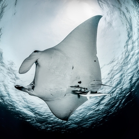 Manta ray at Klein Bonaire.