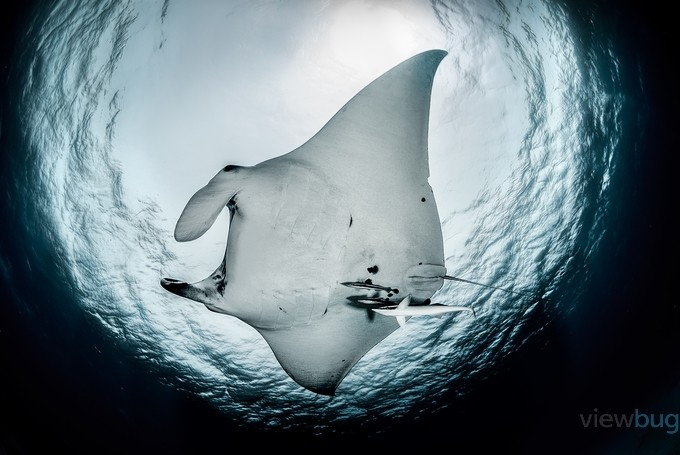 Manta by LorenzoMittiga - Dark And Bright Photo Contest