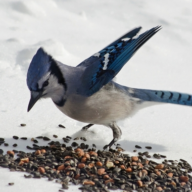 A blue jay picking up seeds off the snow.