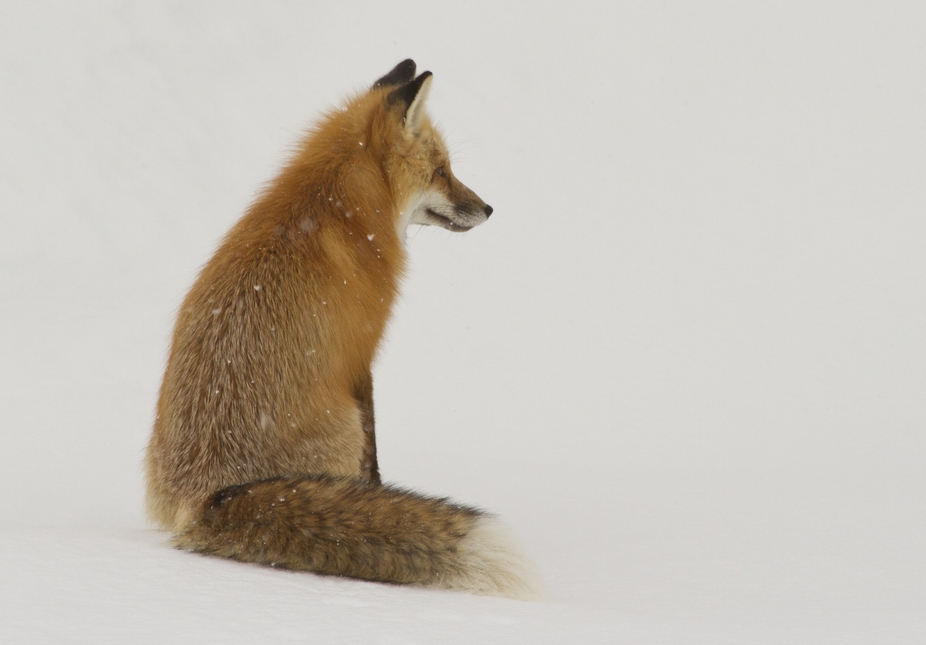 A Red Fox in YNP. Copyright: Cat Hesselbacher 2014