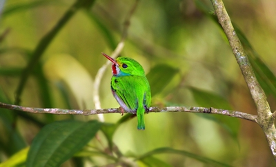 Cuban Tody (Featured by Lonely Planet in August 2014)