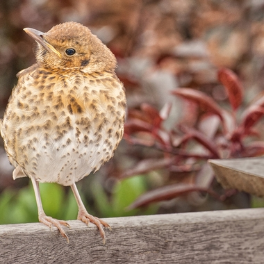 This little Thrush chirped away and posed while I photographed him.