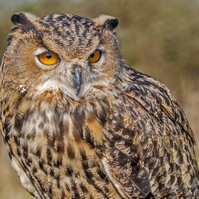 The Eagle Owl is a very large and powerful bird, it is smaller than the Golden Eagle.
