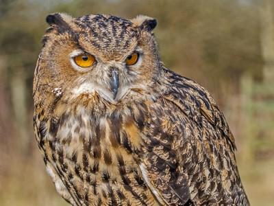 Eagle Owl ;