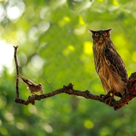 A babbler harassing a brown fish owl at Tadoba Tiger reserve, India