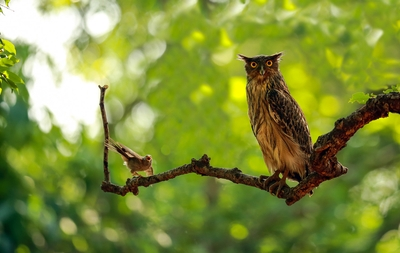 Brown Fish Owl being troubled by a babbler