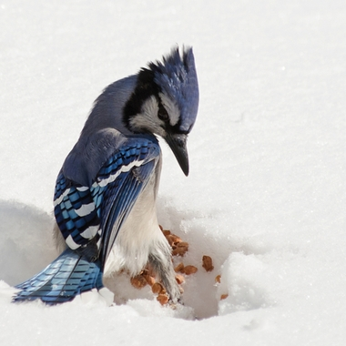 A blue jay landing on a pile of peanuts in fresh snow.