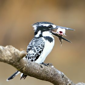 A large part of the attempts of this Fishman Pied Kingfisher to catch the fish are successful!