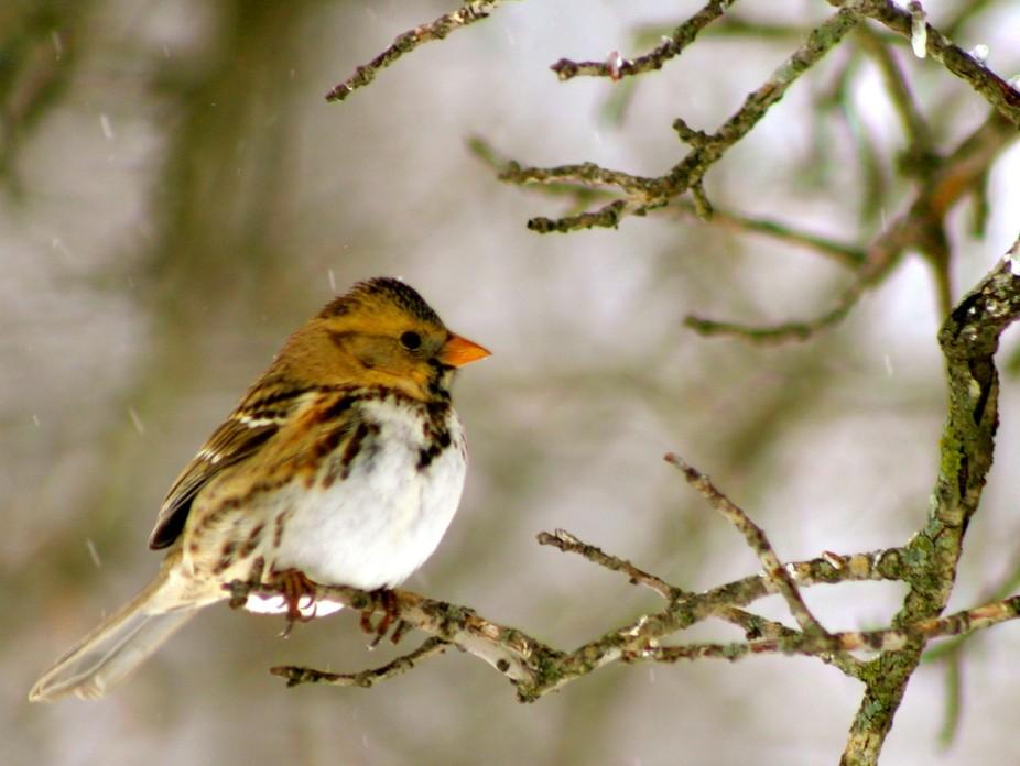 Harris\'s Sparrow