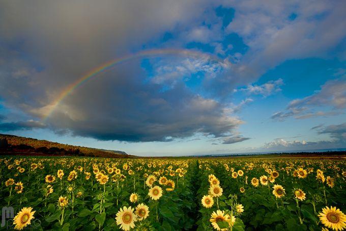 Sunflower Rainbow by jasonmatias - Rainbows Overhead Photo Contest