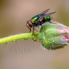 Captured this fly this morning whilst testing my new 5DMKIII.  I am pretty stoked with the results.