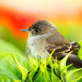 This is Dark-Eyed Junko. I was watering the flowers in my garden when I spotted this bird hopping from one flower to another. Slowly I got my cam...
