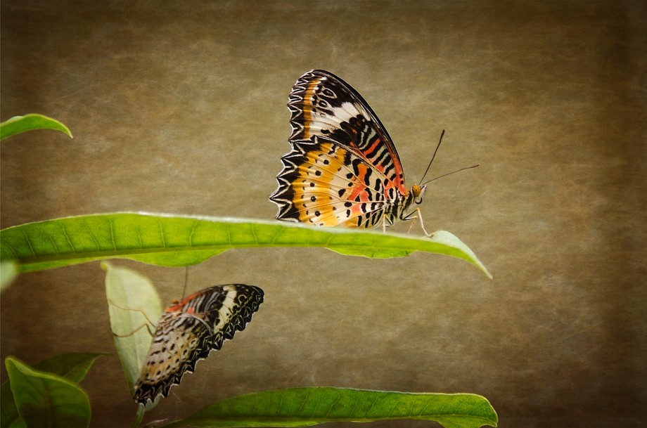 Lace Wings Butterflies