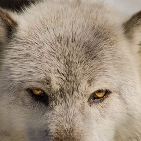 Frontal close up of a wolfs face. Photographed by Melissa Fague.