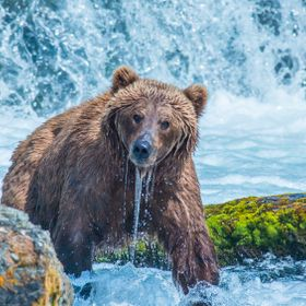 Brown Bear takes a break from fishing to check out the photographer.