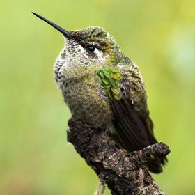 Male hummingbird taking a break during his constantly territory patrol