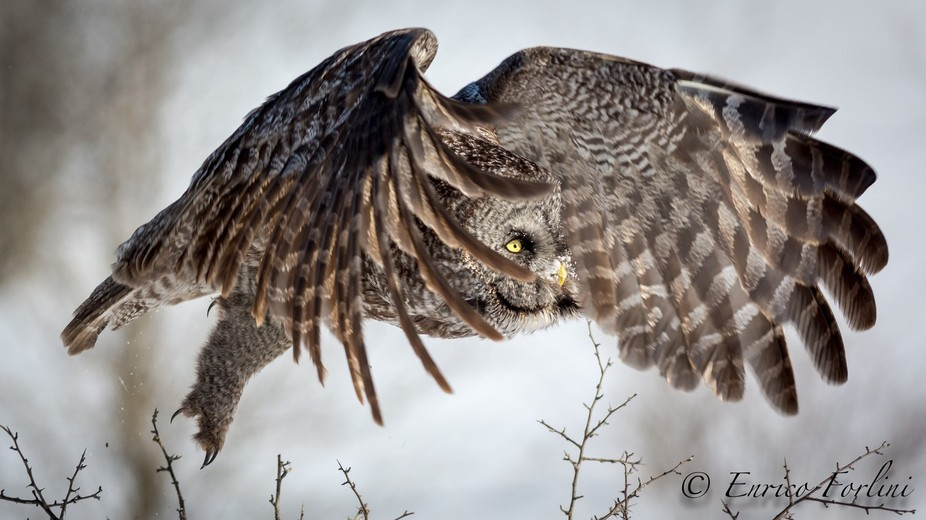 A great grey owl takes flight in search of food.