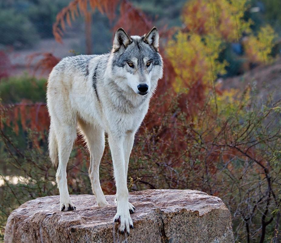 Tundra Gray wolf