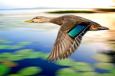 Duck-speed-pan