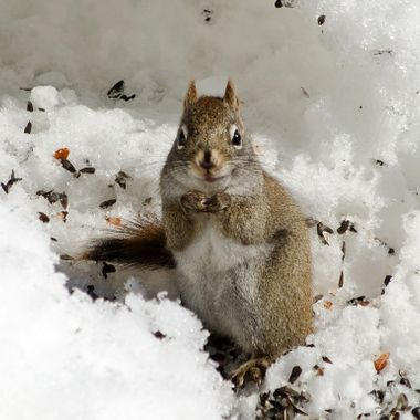 A red squirrel eating seeds in a snow bank.